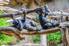 Schimpansen, chim albert in Loro Parque, Teneriffa, zitronengelbes Islan herum Stockfotografie