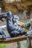 Schimpansen, chim albert in Loro Parque, Teneriffa, zitronengelbes Islan herum Stockbilder