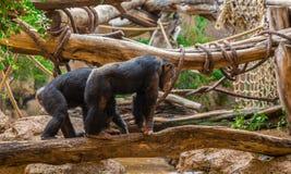 Schimpansen, die auf einen Baum gehen Lizenzfreie Stockfotografie