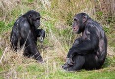 Schimpansen, die im Gras sitzen Stockfoto