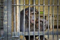 Schimpansen in einem Käfig Stockfotos
