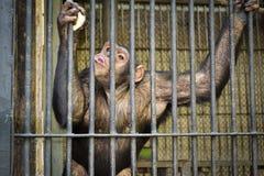 Schimpansen in einem Käfig Lizenzfreies Stockbild