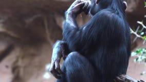 Schimpansen im Zoo stock video