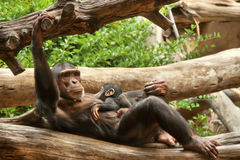 Schimpansen (schimpans) med behandla som ett barn. Royaltyfri Foto