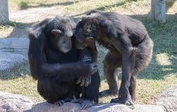 Schimpansepaare, die nuzzling sind lizenzfreies stockfoto