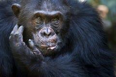 Schimpanseporträt Stockfotografie