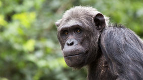 Schimpanseporträt Lizenzfreies Stockfoto