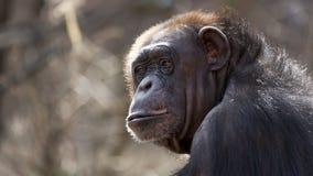 Schimpanseporträt Stockfoto