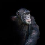 Schimpanseporträt lokalisiert auf schwarzem Hintergrund Stockbild