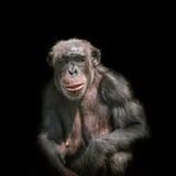 Schimpanseporträt lokalisiert auf schwarzem Hintergrund Lizenzfreie Stockbilder