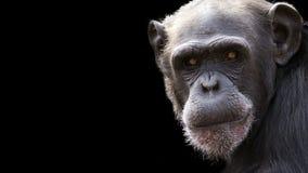 Schimpanseporträt mit Raum für Text Lizenzfreie Stockfotografie