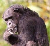 Schimpanseporträtnahaufnahme lizenzfreies stockfoto