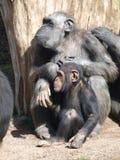 Schimpanser. Royaltyfri Foto