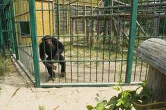 Schimpanser i en bur fotografering för bildbyråer