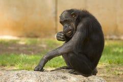 Schimpansesitzen Lizenzfreie Stockfotos