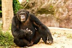 Schimpansesitzen Stockfoto