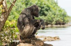 Schimpansestillstehen Stockfotos