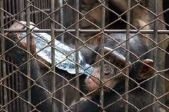 Schimpansetrinkflasche Wasser im Käfig Stockfoto