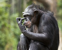 Schimpanseverkratzen Stockbild