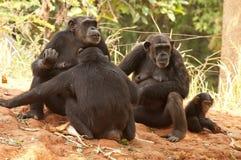 schimpansfamilj Royaltyfria Bilder