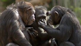 Schimpansgrupp Arkivfoto