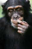 schimpansstående Arkivbild