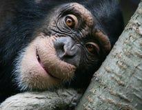 schimpansstående Royaltyfri Fotografi