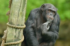 Schimpansstående Royaltyfri Foto