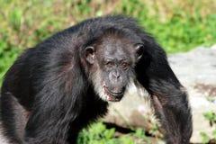 schimpansvänskapsmatch Royaltyfri Bild