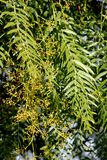 Schinus molle, Peruvian pepper, Californian pepper tree. Evergreen tree with pinnate compound leaves, linear leaflets, small white flowers in panicles and Stock Photos