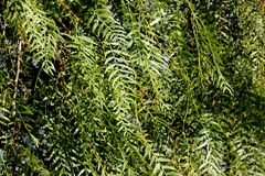 Schinus molle, Peruvian pepper, Californian pepper tree. Evergreen tree with pinnate compound leaves, linear leaflets, small white flowers in panicles and Royalty Free Stock Photos