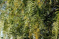 Schinus molle, Peruvian pepper, Californian pepper tree. Evergreen tree with pinnate compound leaves, linear leaflets, small white flowers in panicles and Stock Image