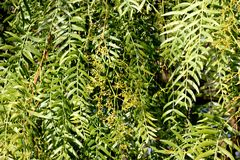 Schinus molle, Peruvian pepper, Californian pepper tree. Evergreen tree with pinnate compound leaves, linear leaflets, small white flowers in panicles and Royalty Free Stock Image