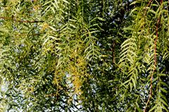 Schinus molle, Peruvian pepper, Californian pepper tree. Evergreen tree with pinnate compound leaves, linear leaflets, small white flowers in panicles and Stock Photo