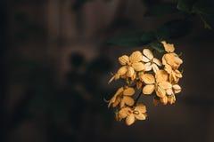 Schiocco giallo Fotografia Stock