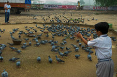 Schiool boy feeding to birds. School Boy feeding birds ahmedaba gujarat India royalty free stock photos