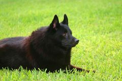 Schipperke royalty free stock image