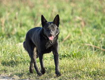 Schipperke black dog Royalty Free Stock Photo