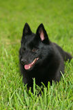 Schipperke profile Stock Images