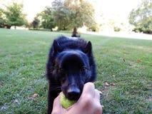 Schipperke, psia bawić się piłka w parku Obrazy Stock