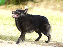 Schipperke. A young, healthy, beautiful, black Schipperke dog standing on the grass looking happy and playful. The Spitzke has small pointed erect ears and is a Stock Image