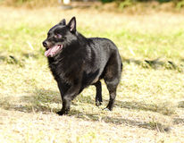 Schipperke. A young, healthy, beautiful, black Schipperke dog walking on the grass looking happy and playful. The Spitzke has small pointed erect ears and is a Royalty Free Stock Images