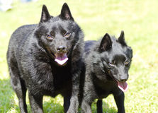 Schipperkes. Two young, healthy, beautiful, black Schipperke dogs walking on the grass looking happy and playful. The Spitzke has small pointed erect ears and is Royalty Free Stock Photography