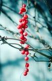 Schisandra莓果 库存图片