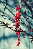 Schisandra莓果 免版税库存图片