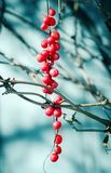 Schisandra  berries. Against wooden blue desk, autumn natural background Stock Image