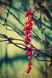 Schisandra  berries Royalty Free Stock Images