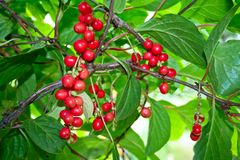 Schisandra chinensis. Royalty Free Stock Photography