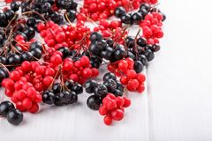 Schisandra chinensis or five-flavor berry. Aronia or chokeberry. Fresh red and black ripe berry on white. Copy space stock photo
