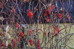 Schisandra chinensis installatie met vruchten Stock Fotografie